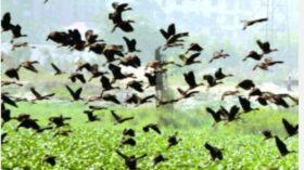 সাপাহারের ঐতিহ্যবাহী জবাই বিলে পরিযায়ী পাখি সংরক্ষনে প্রয়োজন অভয় আশ্রম