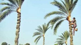 হারিয়ে যেতে বসেছে গ্রাম-বাংলার ঐতিহ্যবাহী খেজুরের রস